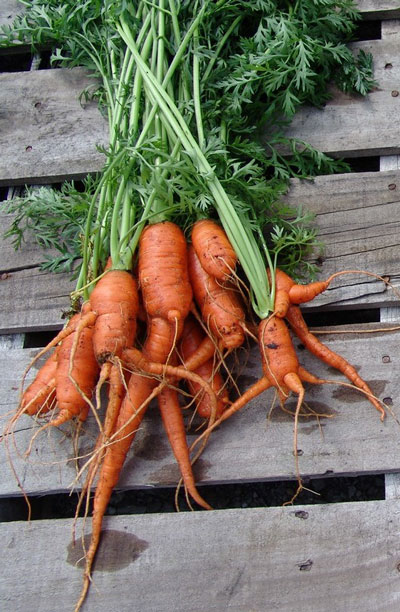 carrots-untreated