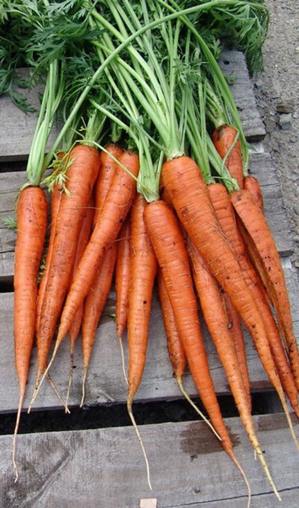Carrots 06